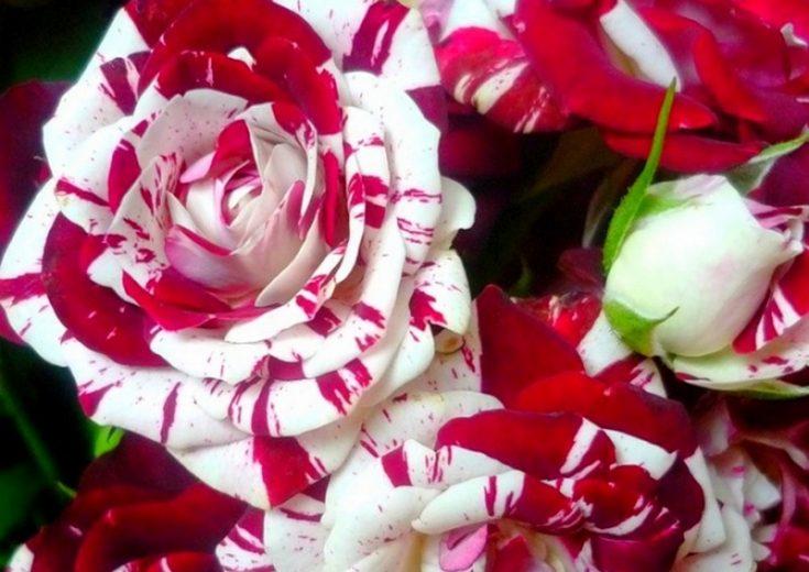 Двуцветни рози